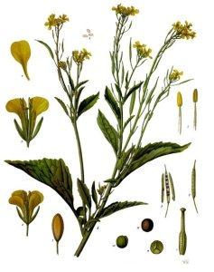 brassica_juncea_-_ku00f6hleru2013s_medizinal-pflanzen-168